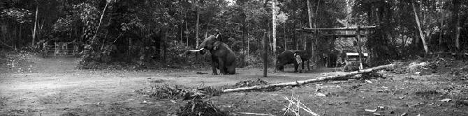 Trainig of Elephants for Logging in Kachin State (2007)